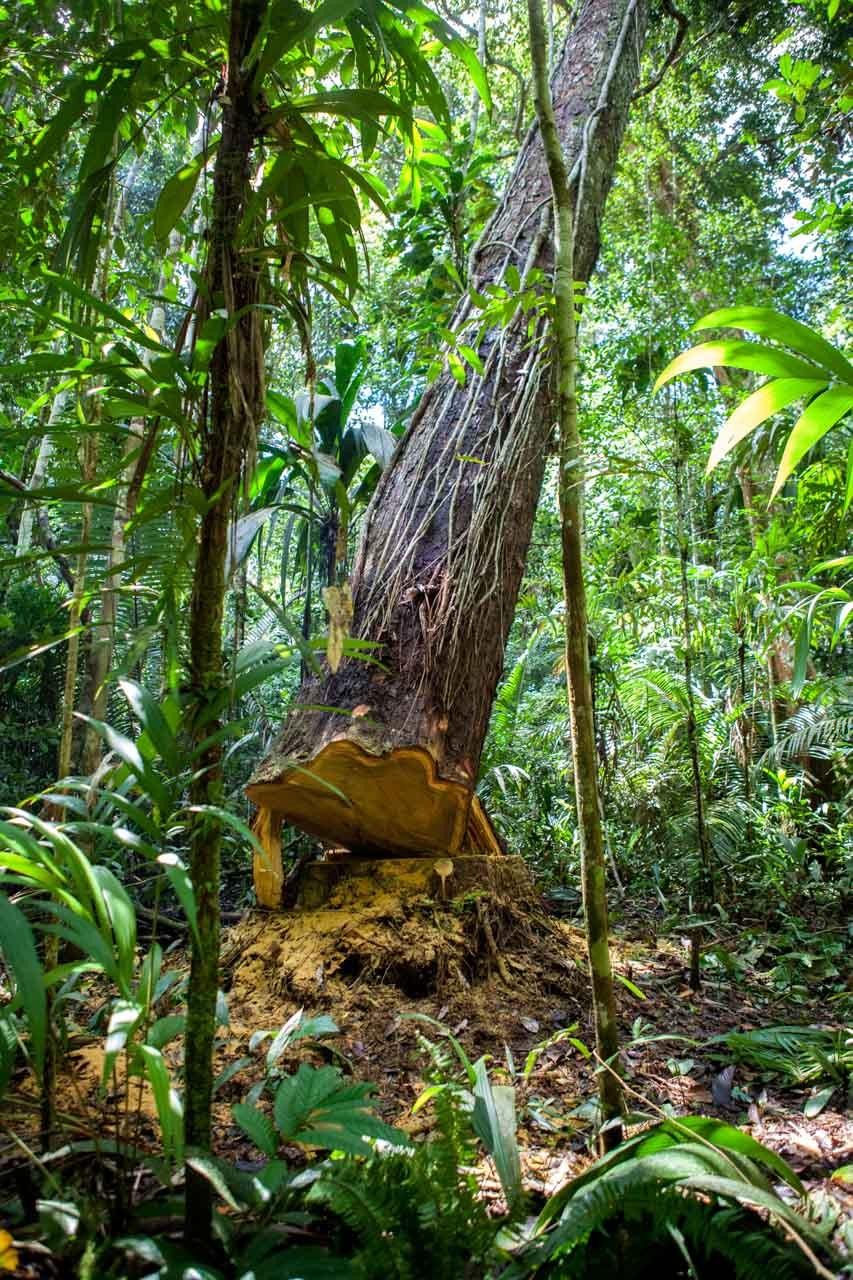 Uma jornada rumo à extração ilegal de madeira na Amazônia